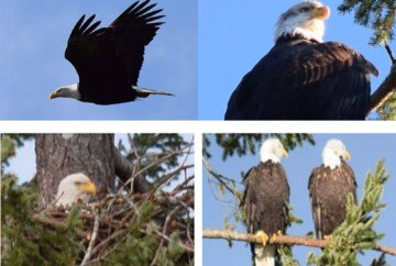 Pictures of Eagles